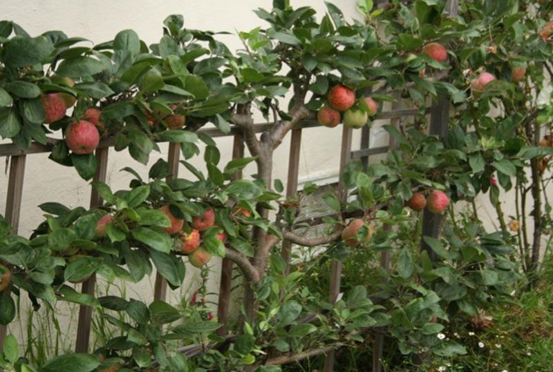Espalier Apple Tree | Pacific Nurseries