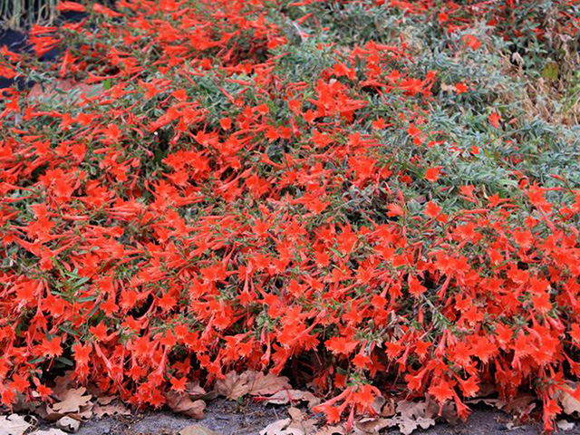 Epilobium canum | Pacific Nurseries