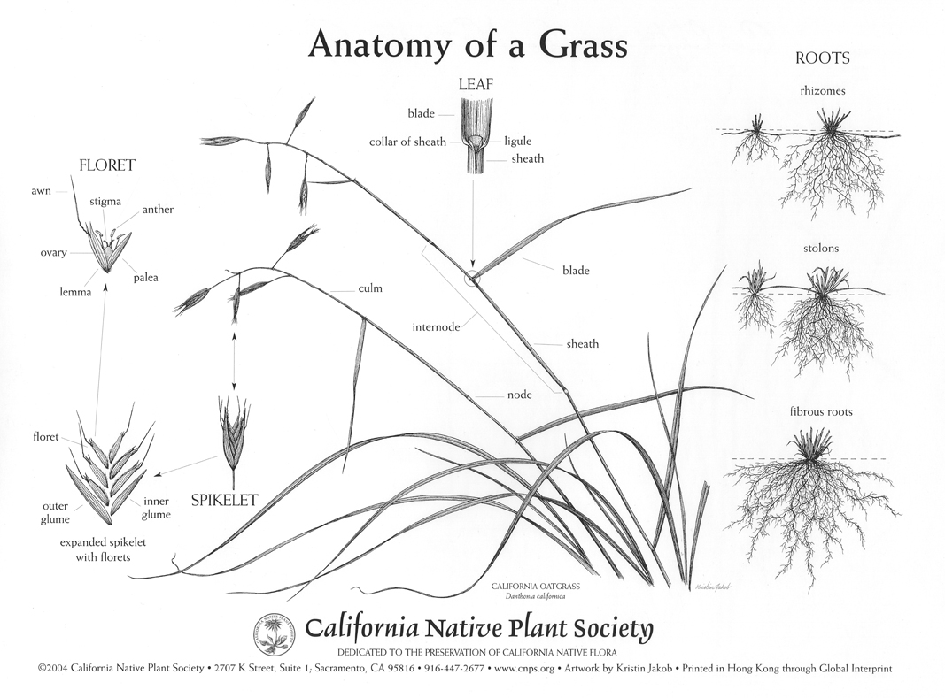 Anatomy of Grass | Pacific Nurseries