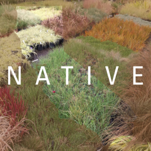 CA Native Grasses | Pacific Nurseries