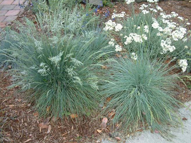Festuca californica | Pacific Nurseries