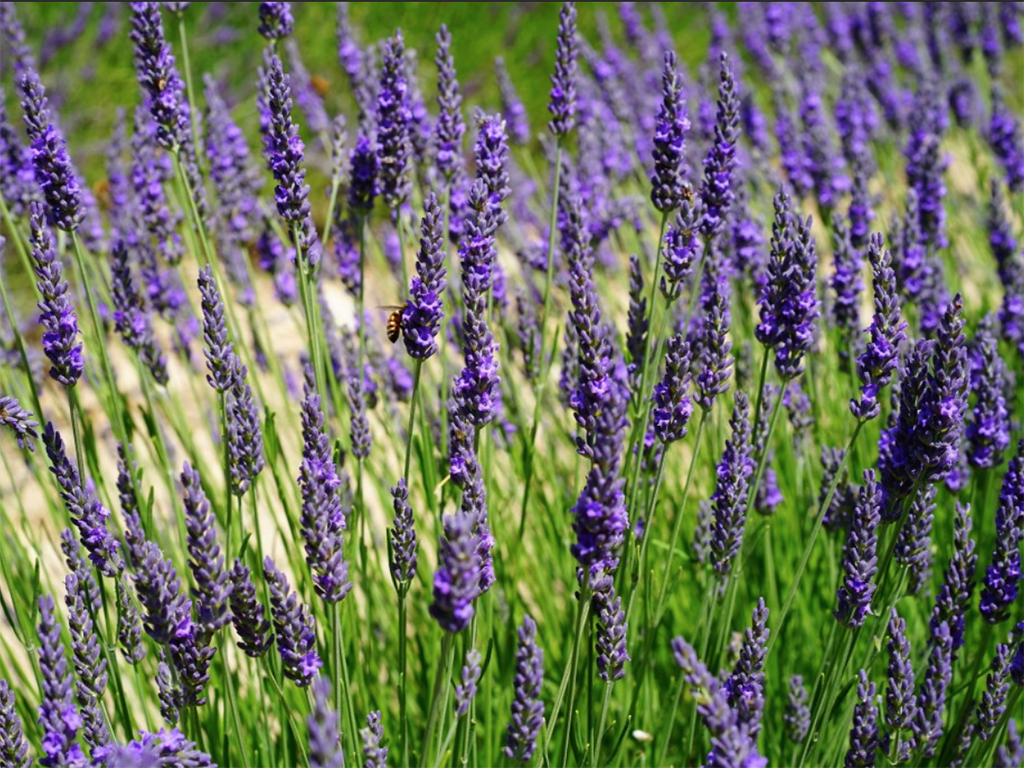 Lavandula | Pacific Nurseries