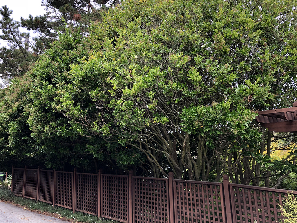 Ligustrum japonicum 'Texanum' | Pacific Nurseries
