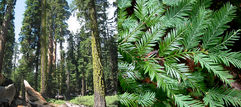 Sequoia sempervirens | Pacific Nurseries