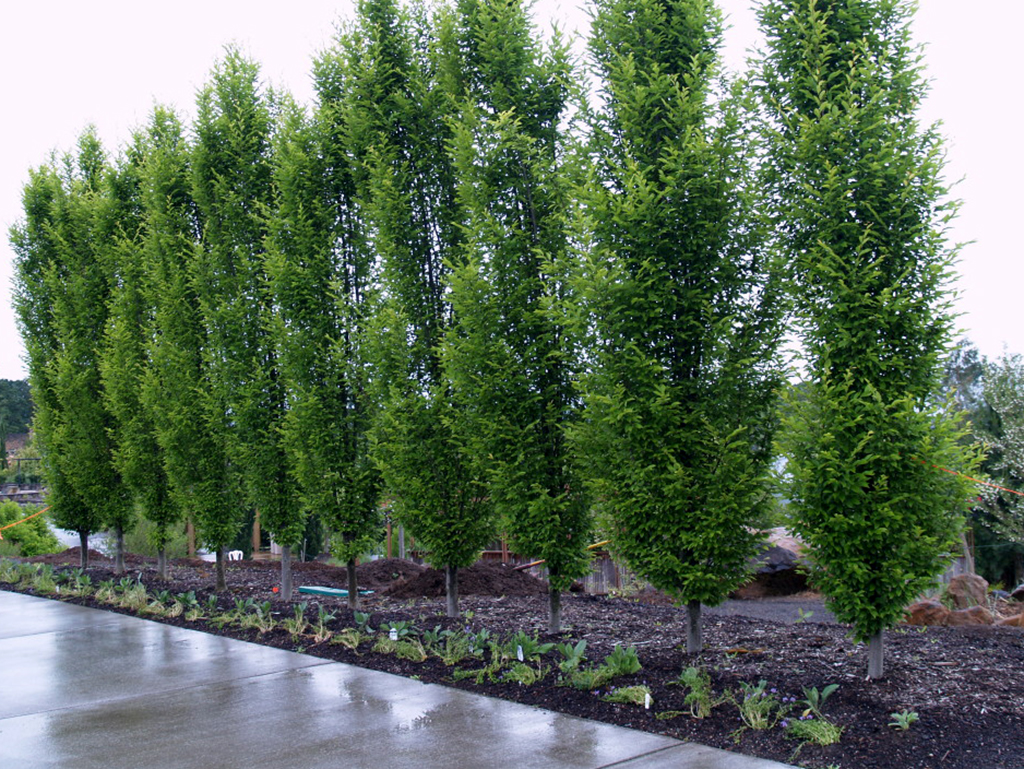 Carpinus betulus 'Fastigiata' | Pacific Nurseries