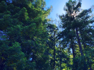 Trees that Bay Area clients love | Pacific Nurseries