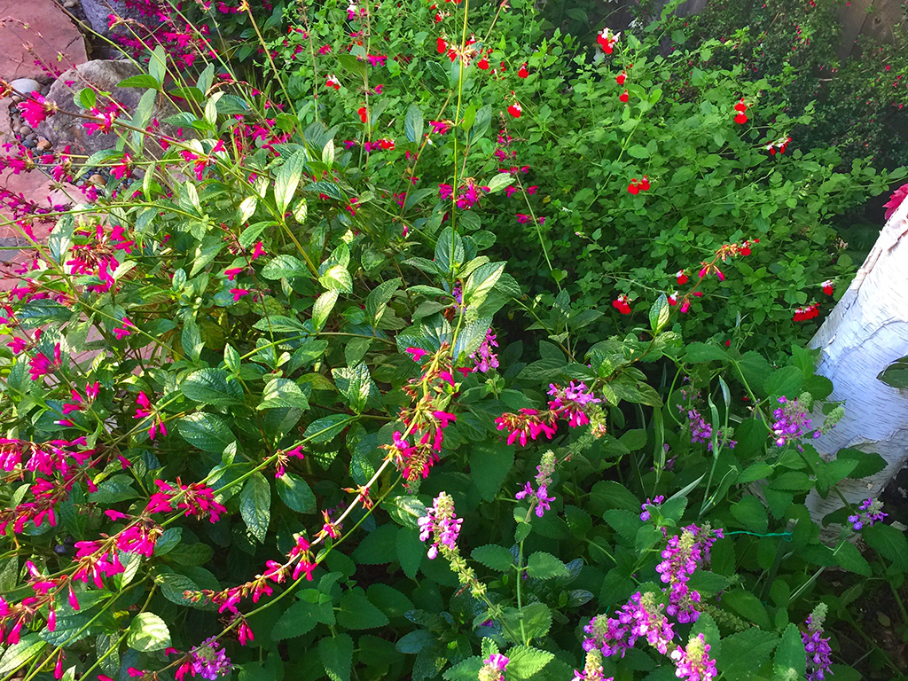 Salvias | Pacific Nurseries