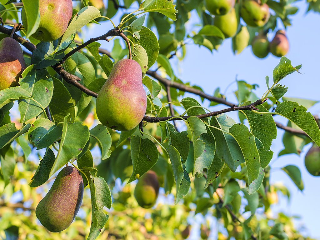 Fruit trees for the Bay Area | Pacific Nurseries