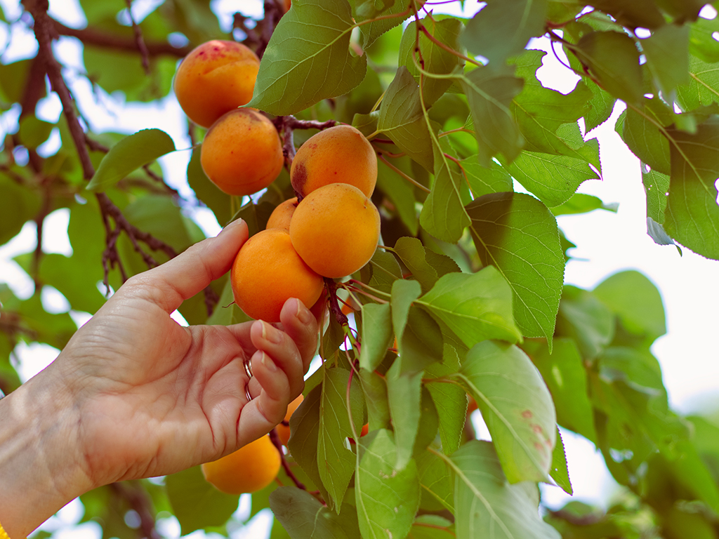 12 delicious fruit trees for the Bay Area | Pacific Nurseries