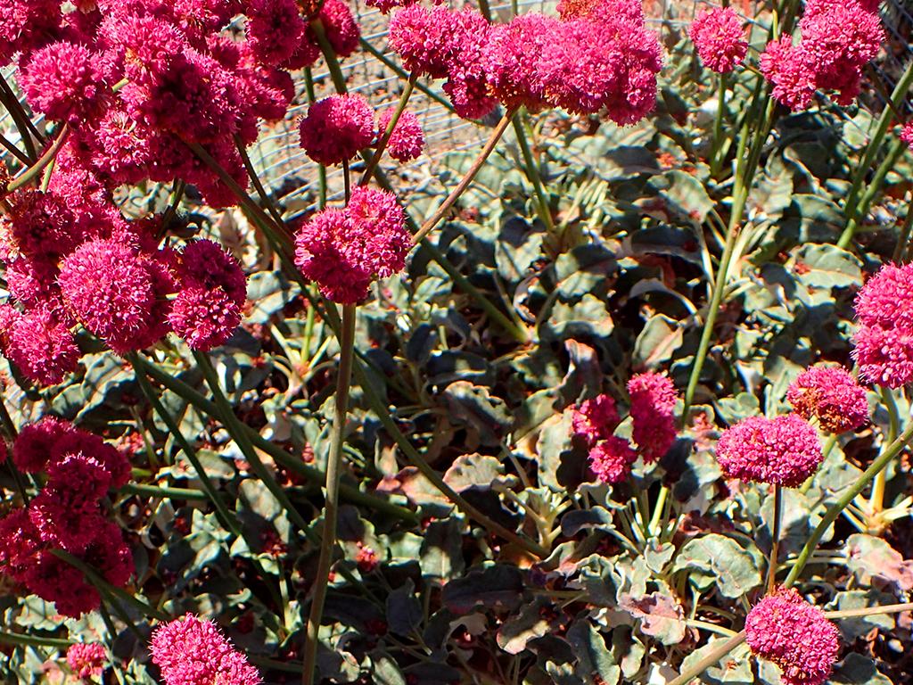 Eriogonum grande var. rubescens | Pacific Nurseries